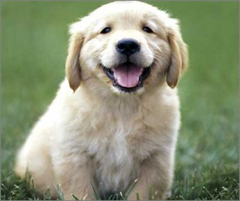 happy puppy: Happy Mondays, Puppies Pictures, Cant Wait, Old Dogs, Pets, Dogs Photos, Animal Friends, Puppy'S, Golden Retriever
