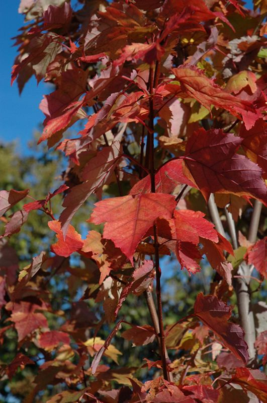 Click to view full-size photo of Red Rocket Red Maple (Acer rubrum 'Red Rocket') at Gertens