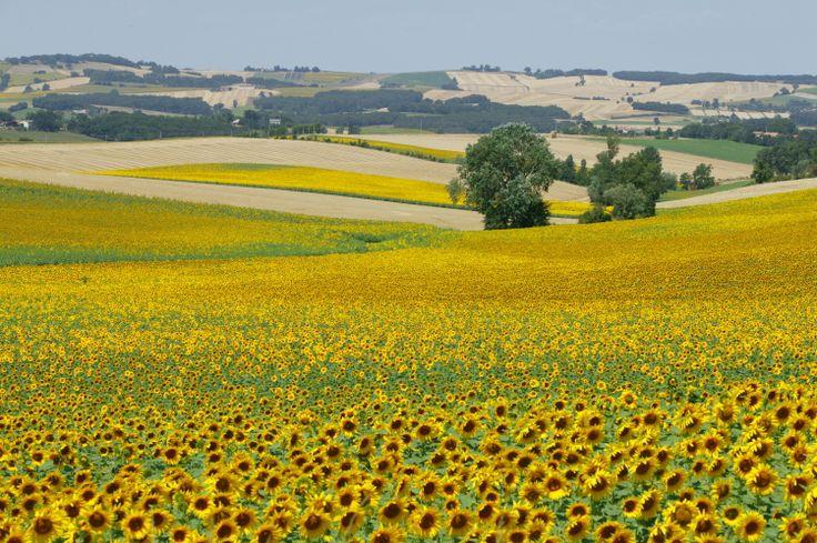 Coteaux, collines et vallons - Champs cultivés dans le Gers. © CRT Midi-Pyrénées / D. Viet #TourismeMidiPy #MidiPyrenees #France #landscapes #gers