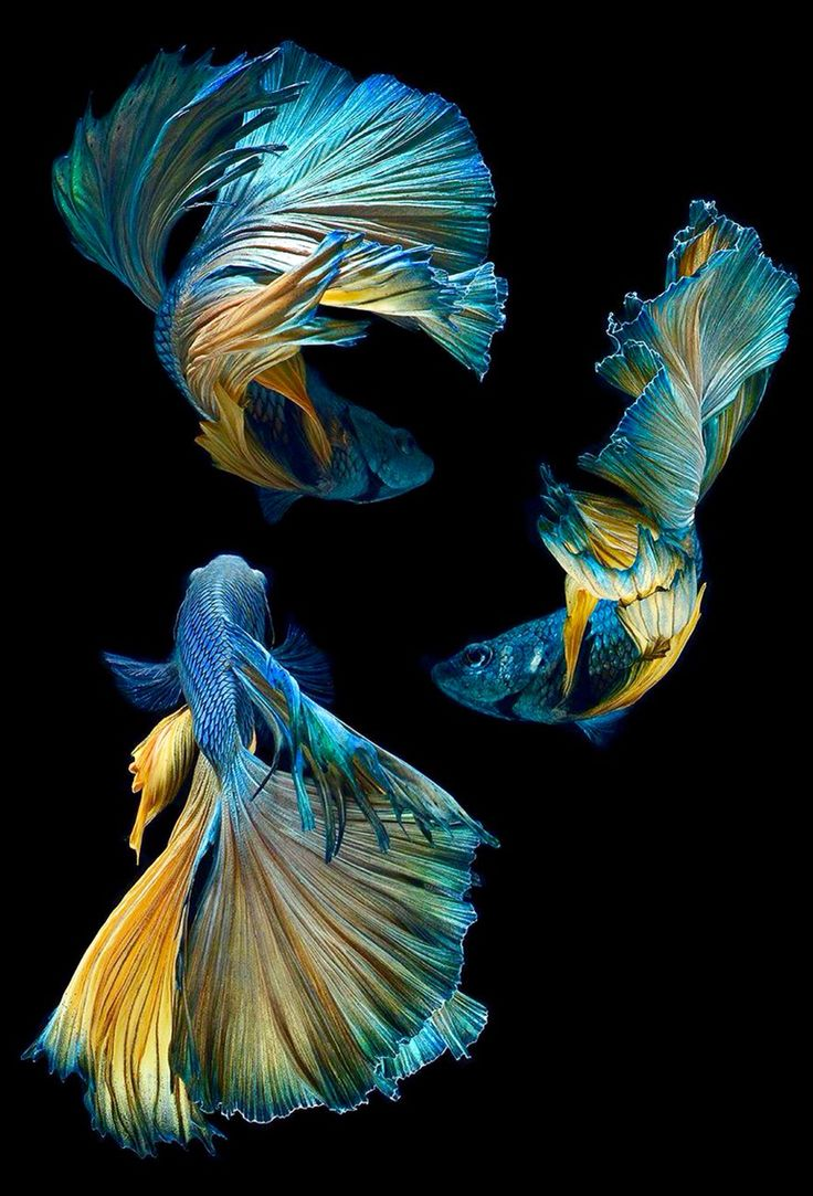 25 best images about betta fish on pinterest betta for Healthy betta fish