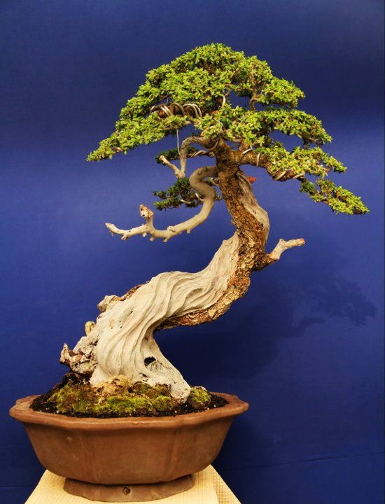 name of the tree: Pemphis acidula tree height: 57 cm High pot: 15 cm pot width: 40 cm bonsai title: snake dance design: Gede Merta collection: H.N. Holiq Effendi