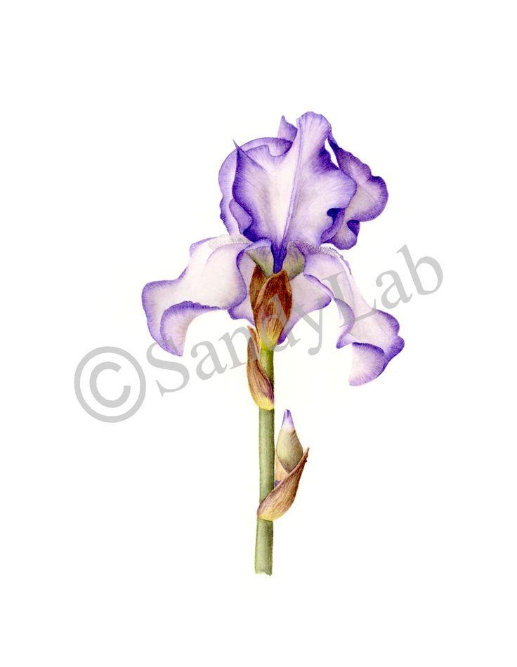 Original watercolour by Sandy Labuschagne ~ my favourite Iris in my garden