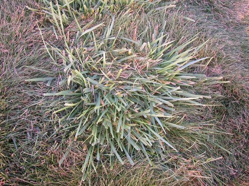 25 best weedy grasses images on pinterest grasses for Tall red grass