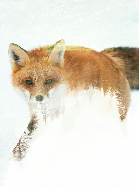 Fox double exposure by Caro Botha (not my photo, but I edited it)