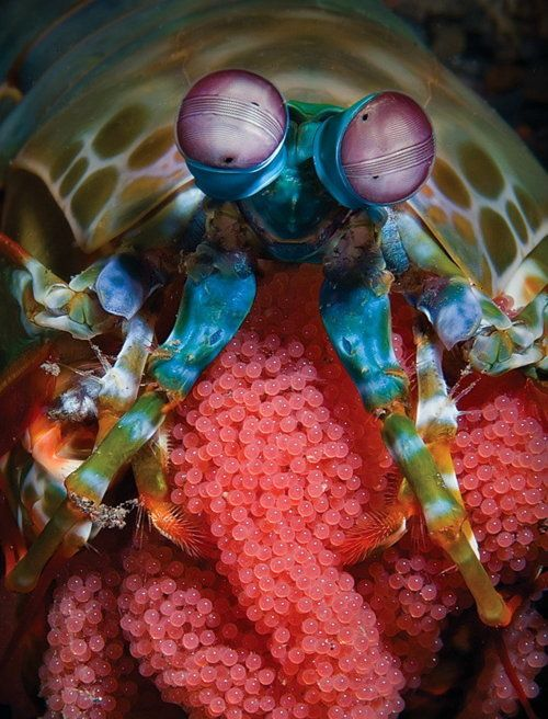 RAINBOW camarón mantis (Pseudosquilla ciliata) cuidando sus huevos