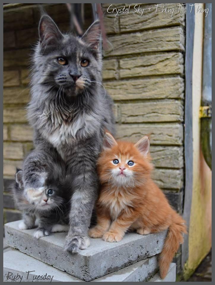 Gray Maine Coon Cat and kittens #cat #mainecooncat #mothercatandkittens