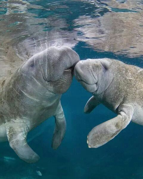 52 best images about My Compassion: Manatee on Pinterest