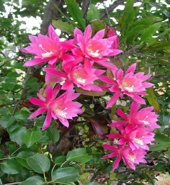 Flowers, Friendship and Gardens: Jewels Cactus Jpg 550 600, Friendship Gardens