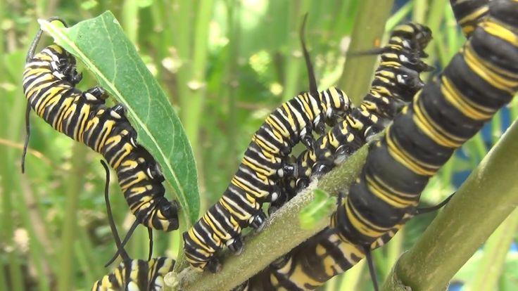 La oruga de la mariposa monarca tiene un ciclo de vida de dos semanas