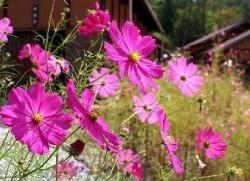 Les cosmos, qui offrent une floraison continue tout au long de l'été, sont les fleurs incontournables des massifs réussis. Voici quelques conseils pratiques pour cultiver ces fleurs légères et colorées. par Audrey
