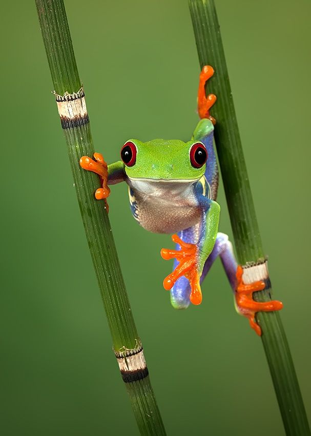 """Hanging Around"" Red-eyed tree frog ~ By Peter Reijners"