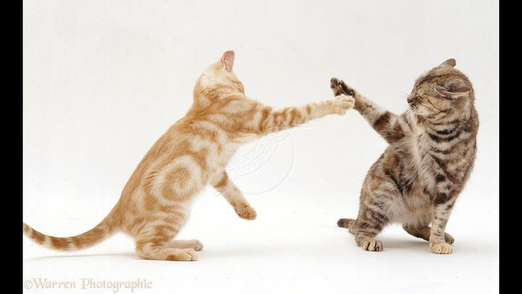 Cat dancing on Despacito   Funny cats in action