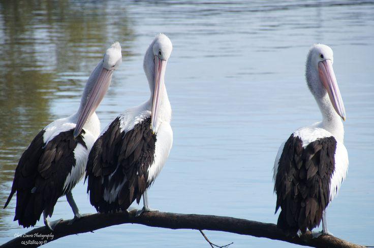 Posing Pelicans
