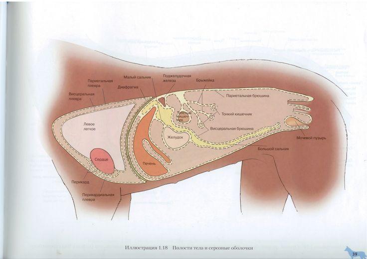 Полости тела, серозные оболочки собаки | Dog Serous Membranes & Cavities