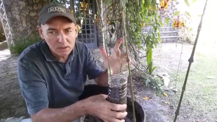 Como fazer mudas de roseiras