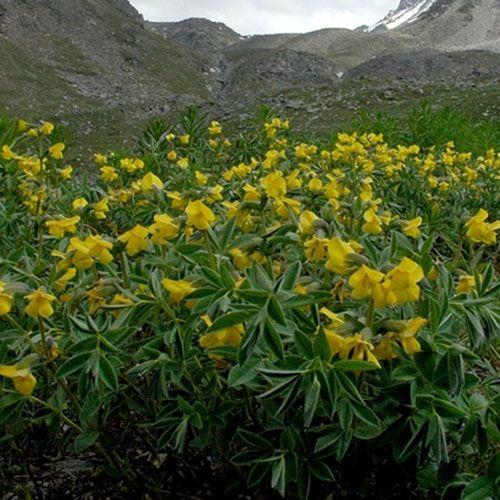 Thermopsis alpina