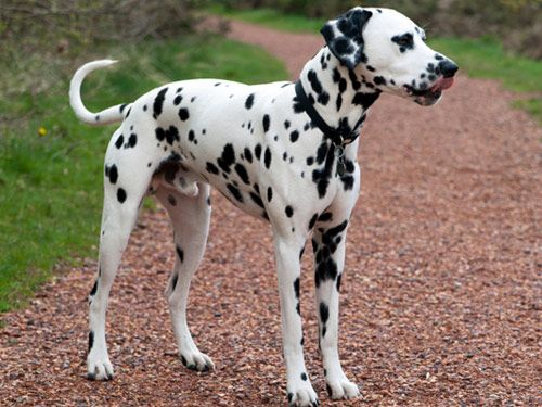 Dalmatian Breeders within the United States | Puppies for ...