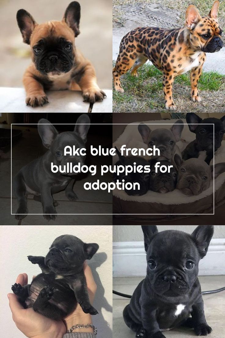AKC BLUE FRENCH BULLDOG PUPPIES FOR ADOPTION for Sale in