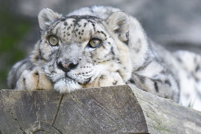 """Also known as an """"ounce,"""" these beautiful big cats are one of the most elusive mammals in the world."""