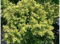 Rostlina | Tsuga canadensis, Jedlovec kanadský