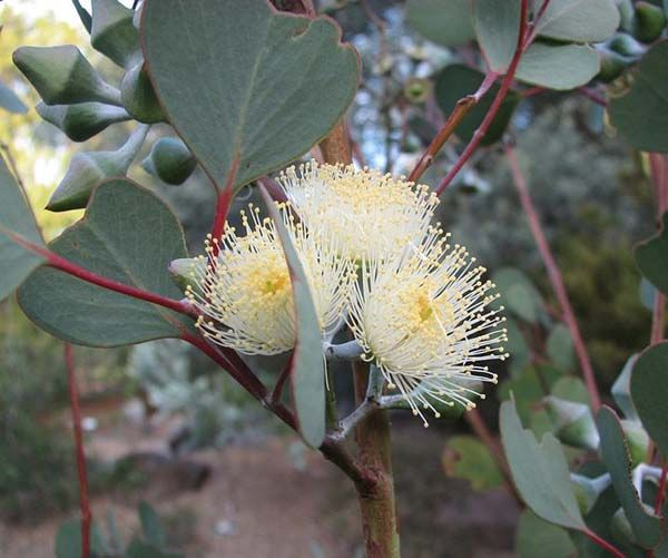 Round-leafed Mallee (Eucalyptus orbifolia) Western Australia, South Australia, Northern Territory. The round leaf mallee has rough bark that peels off showing the cream colored new bark underneath.