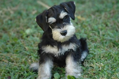 Naturally I love mini-schnauzers!