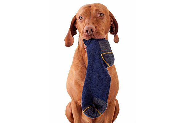 Your Dog Ate A Sock Is It Dangerous What To Do Next Your Dog Dog Eating