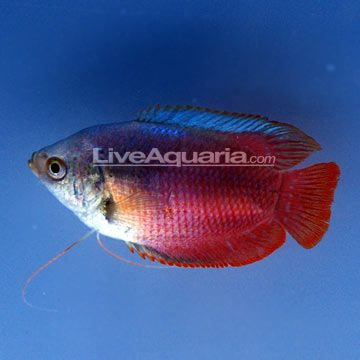 """Minimum Tank Size: 20 gallons  Care Level: Moderate  Temperament: Peaceful  Water Conditions: 72-82° F, KH 4-10, pH 6.0-7.5  Max. Size: 2""""  Color Form: Blue, Red  Diet: Omnivore  Origin: Tank Bred - Asia  Family: Belontiidae"""
