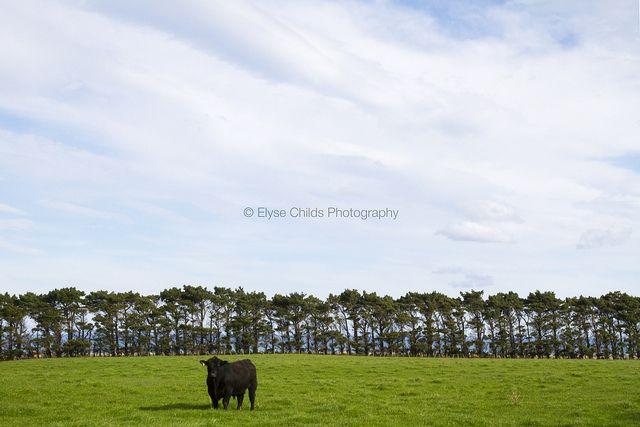 Black bull in paddock, Wairarapa   © Elyse Childs Photography