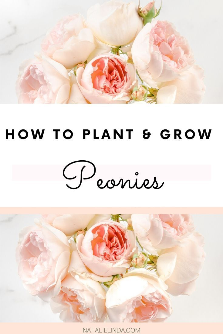 How to Plant and Care for Peonies  – Flower Garden Growing Tips