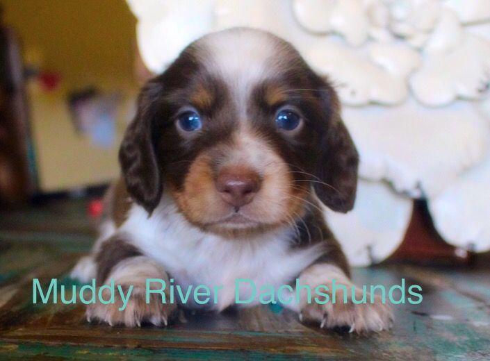 Puppies For Sale San Antonio Dallas Houston Austin Corpus