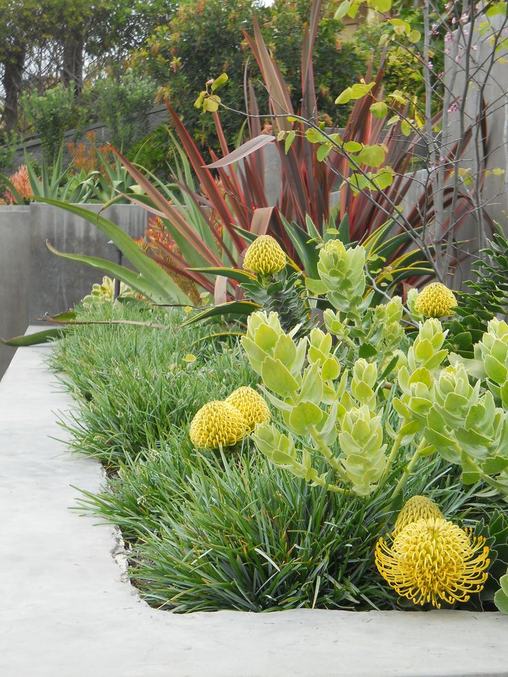 Phormiums have become icons of Mediterranean landscapes, although they hail from New Zealand and require a bit more moisture than sometimes expected. Here, the bronzy colors of Phormium 'Firebird' combines nicely with Leucodendron 'Safari Sunset', with the flowers of drought tolerant Arctotis underneath.