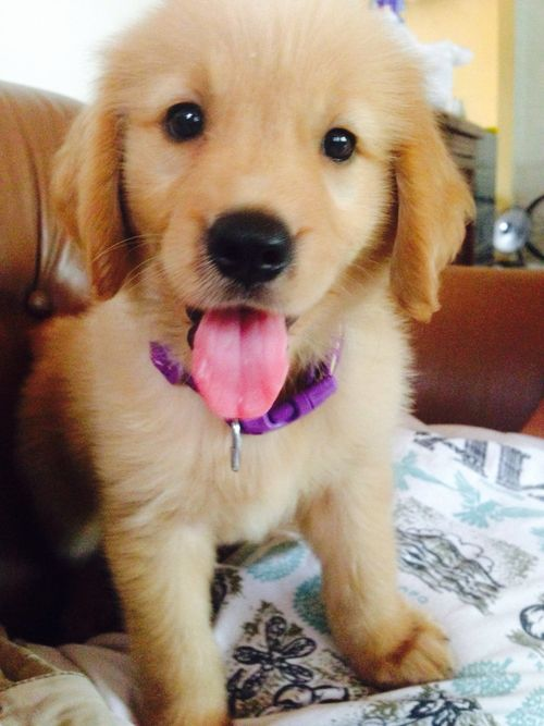 Cute Golden puppy