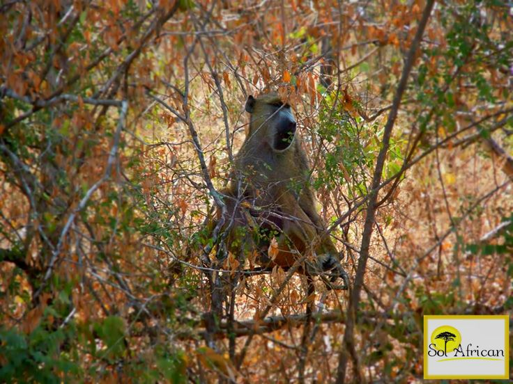 Camouflage! #gibbon #Africa #SouthAfrica #travel #holiday #holidaydestination #tour #tourism #tourismagency #adventure #fun #exotic #safari #wild #wilderness #explore #discover #nature #naturalbeauty