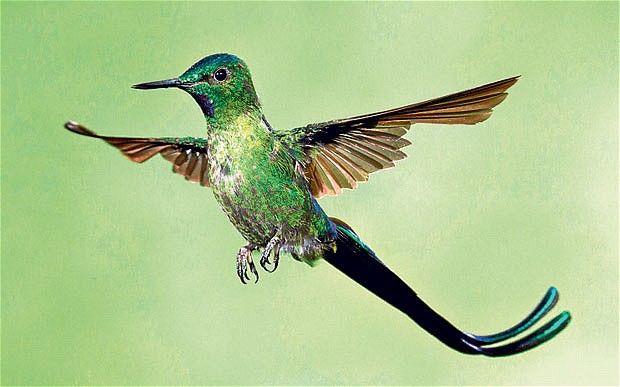 Hummingbirds - Dan 330