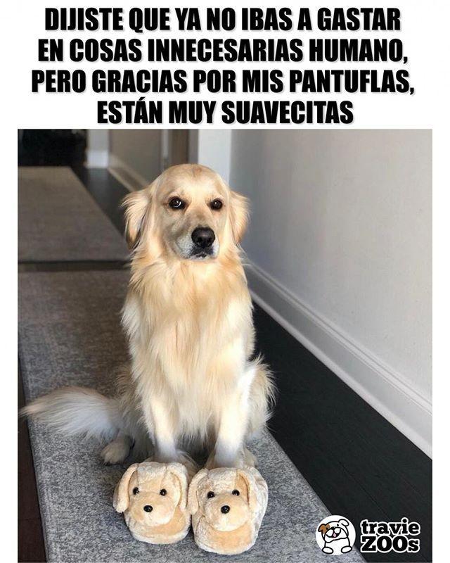 Apenas Ayer Fue Quincena Y Yo Ya Me La Acabe En Cosas Asi Firulais Pantunflas Dog Perro Golden Compras Funny Pet Memes Perros Perros Memes Animales