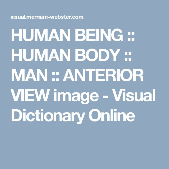HUMAN BEING :: HUMAN BODY :: MAN ::  ANTERIOR VIEW image - Visual Dictionary Online