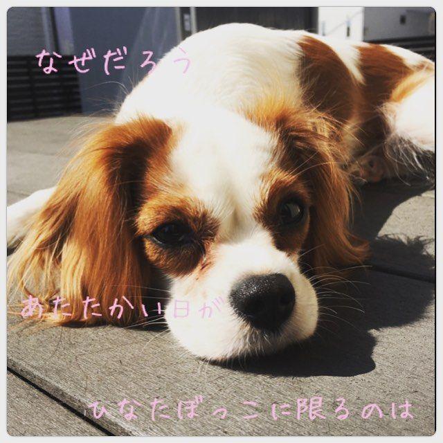 #あたりまえポエム風  #こむぎポエム  #ひなたぼっこ #はるよこい #cavalier #cavalierkingcharlesspaniel #dog #love #キャバリア #キャバリアキングチャールズスパニエル #愛犬 #ブレンハイム #いぬばか #かわいい #大好き