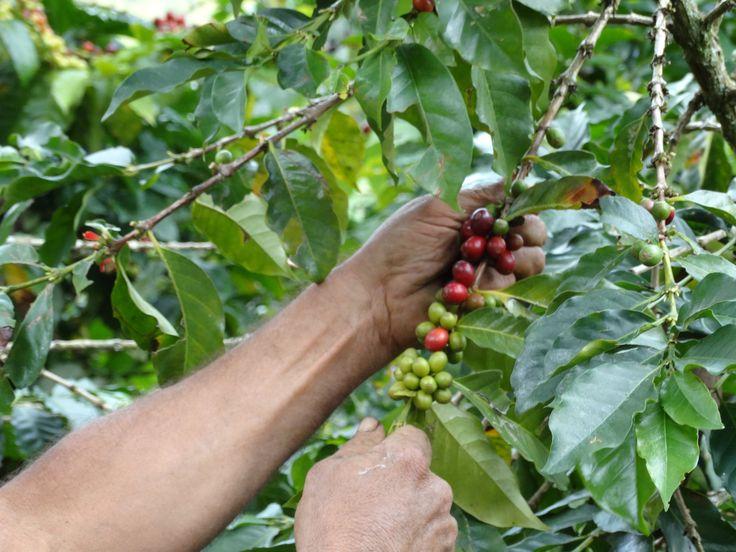 Café de Especialidad vs Café Comercial: 3 Diferencias Clave en su Proceso - https://www.perfectdailygrind.com/2016/08/cafe-de-especialidad-vs-cafe-comercial-3-diferencias-clave-en-su-proceso/