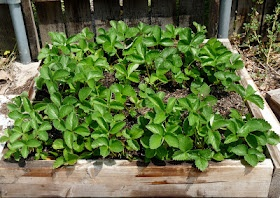 Growing a strawberry patch
