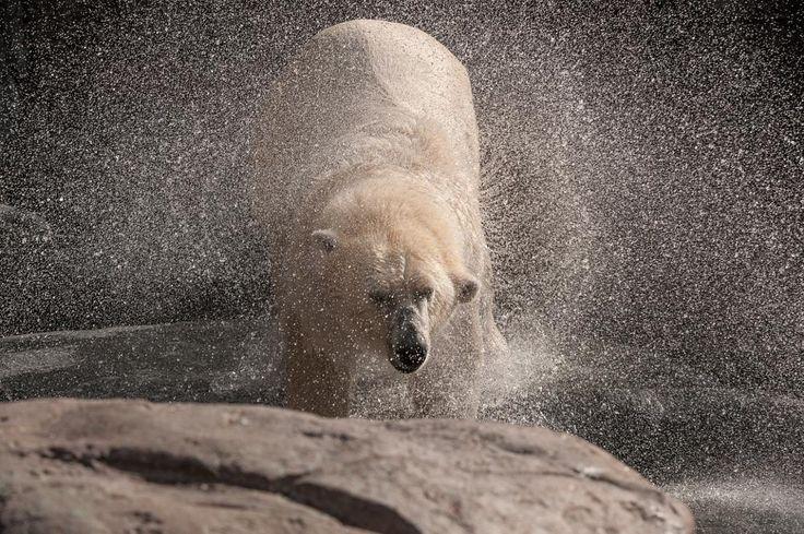 Polar Bear  by peter.h.hansen1