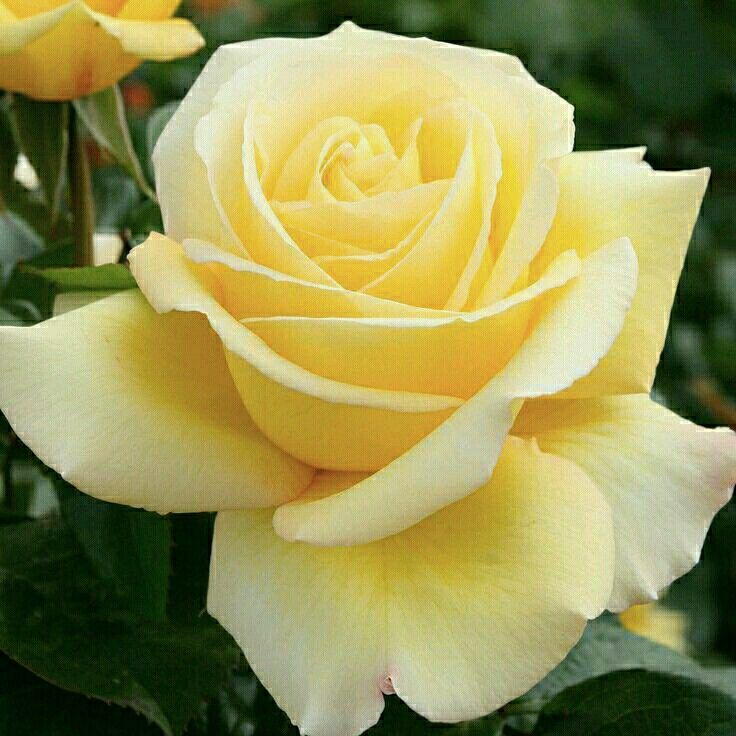 Pin By Farah Aisha On 111 Roses Yellow Rose Bouquet Beautiful Flowers Yellow Flowers
