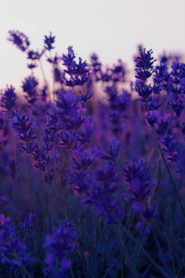 ~in the lavender field