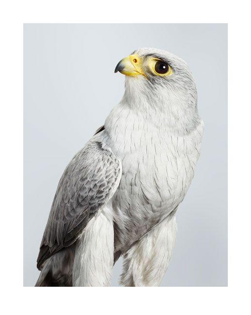 © Leila Jeffreys ~ 'Ash' Grey Falcon ~ 2014 fine art inkjet print on archival cotton rag paper at Olsen Irwin Gallery Sydney Australia