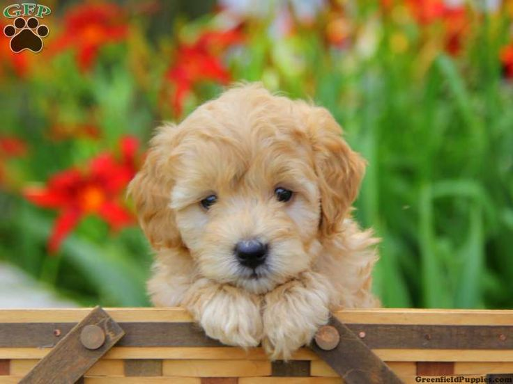 Miniature Goldendoodle Puppy=Golden Retriever + Poodle