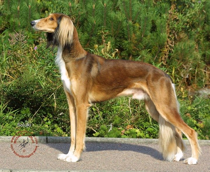 The Saluki, also known as the Royal Dog of Egypt or Persian Greyhound, is one of the oldest known breeds of domesticated dog