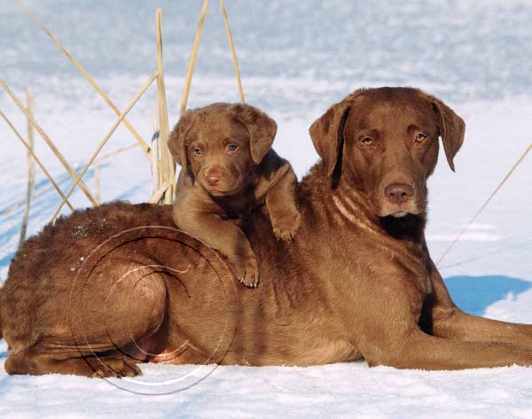 2014 Animals Pets Calendars - Chesapeake Bay Retriever and Puppy - December 2014