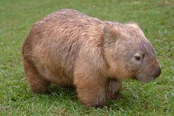 Wombats - they're like fuzzy bear-pigs!