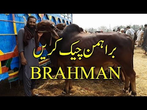 App loog hi Brahman Bull Check Kerain – Lahore Bakra Mandi