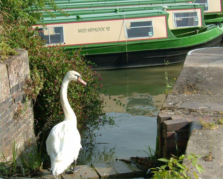 Swan @ Calcutt top lock www.calcuttboats.com